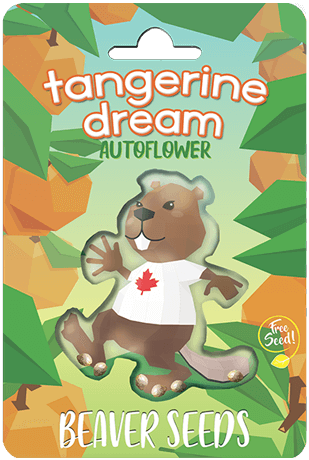 Tangerine Dream Autoflower Marijuana Seeds