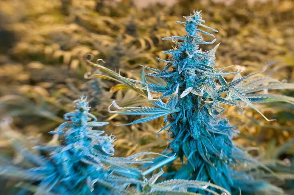 A Complete Guide to Understanding Marijuana
