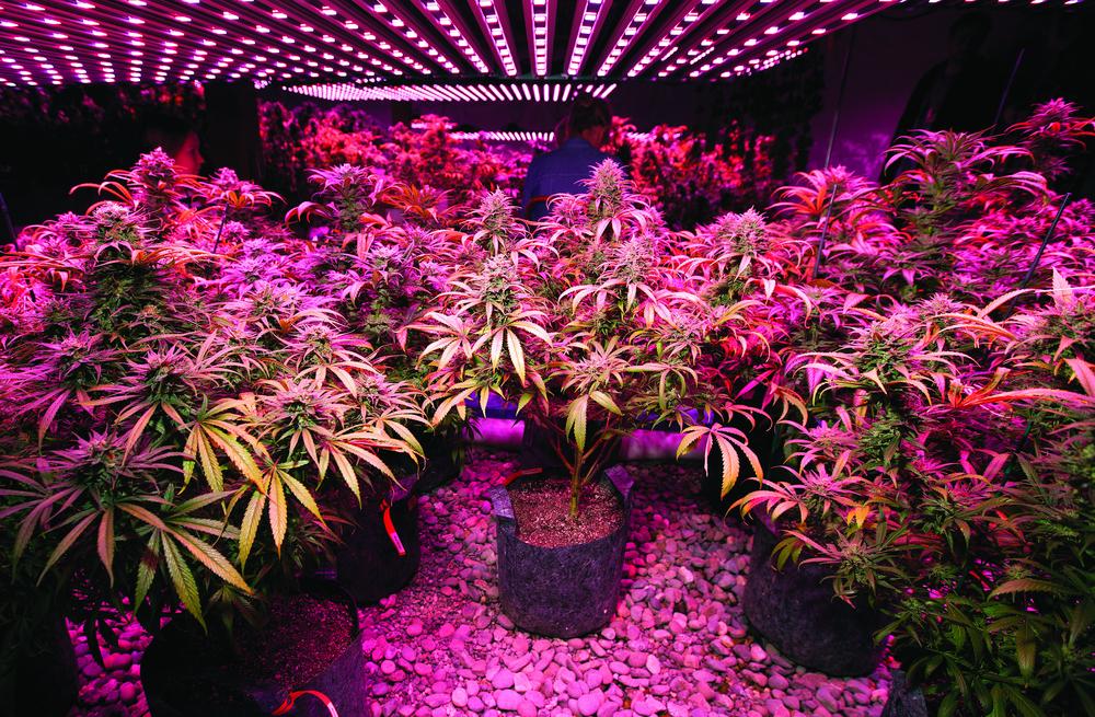 How to Grow Marijuana Plant Indoors