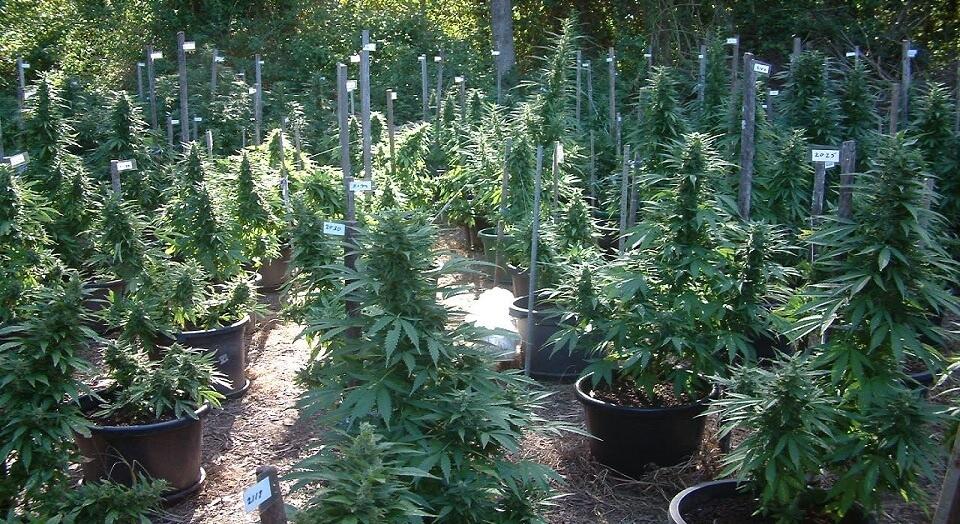 best outdoor strain