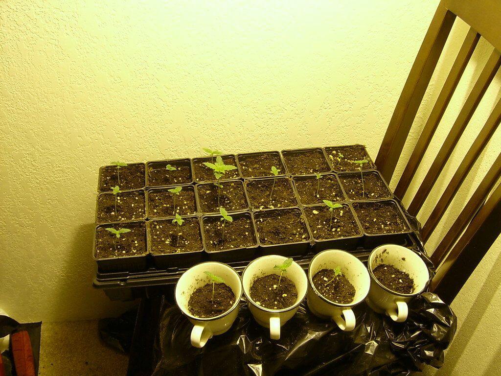 growing marijuana in aeroponics