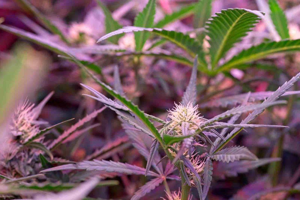 how to grow autoflowering seeds