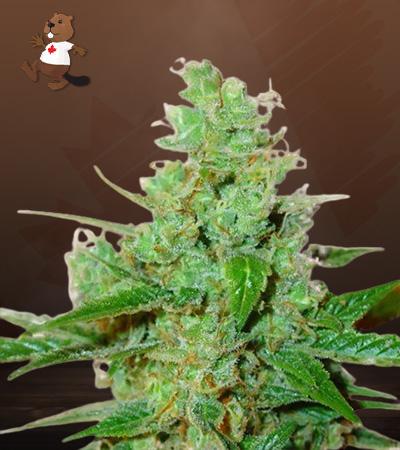 3 Kings Feminized Marijuana Seeds