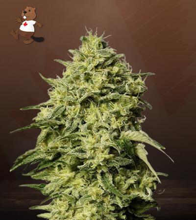 Amnesia Autoflower Marijuana Seeds