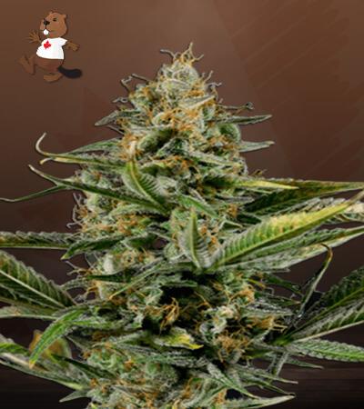 Amnesia Kush Autoflower Marijuana Seeds