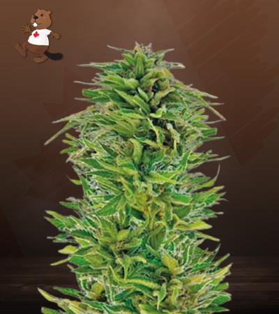 buy amnesia lemon marijuana seeds