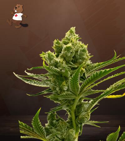 Auto CBD Haze Marijuana Seeds