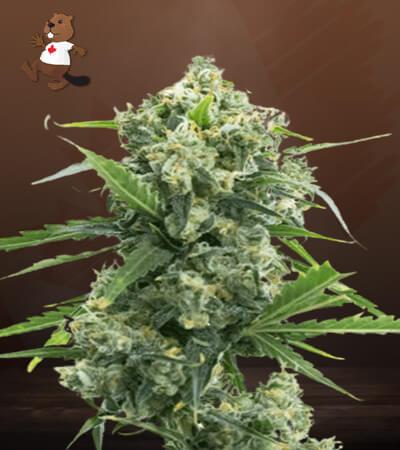 Banana Kush Autoflower Marijuana Seeds