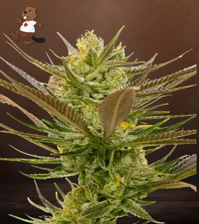 Banana Punch Feminized Marijuana Seeds