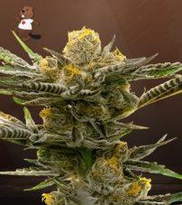 Black Demon OG Femninized Marijuana Seeds