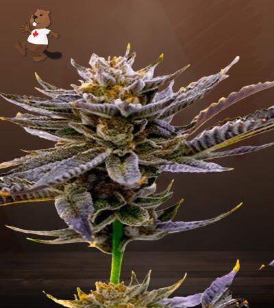 Blueberry Autoflower Marijuana Seeds