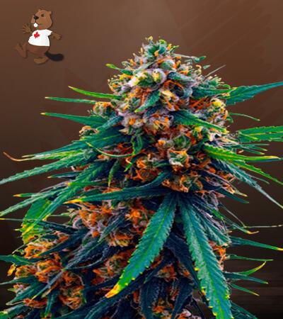 Blueberry Feminized Marijuana Seeds