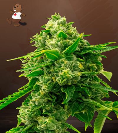Bruce Banner 2.0 Feminized Marijuana Seeds