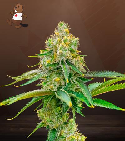 Bubblegum Haze Feminized Marijuana Seeds