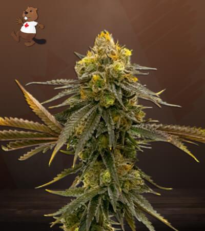 CBD ACDC Marijuana Seeds