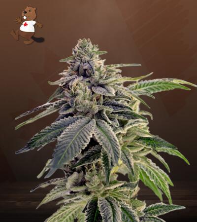 CBD Candyland Marijuana Seeds