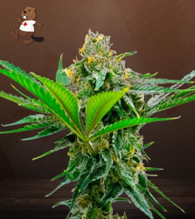 CBD Cheese Marijuana Seeds