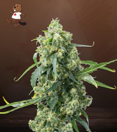 CBD Chemdog #4 Marijuana Seeds