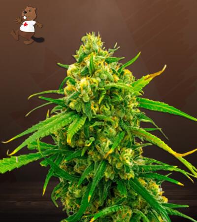 CBD Critical Mass Marijuana Seeds