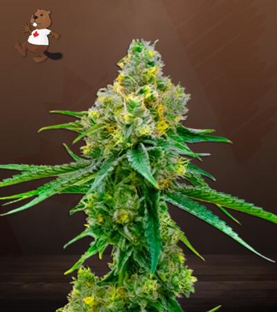 Harlequin CBD Marijuana Seeds
