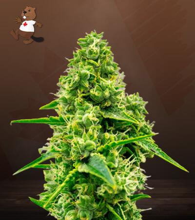 Jack Herer CBD Marijuana Seeds