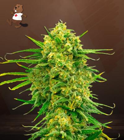 Mexican CBD Marijuana Seeds