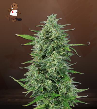 OG Kush CBD Marijuana Seeds