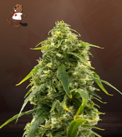 CBD Tangie Marijuana Seeds