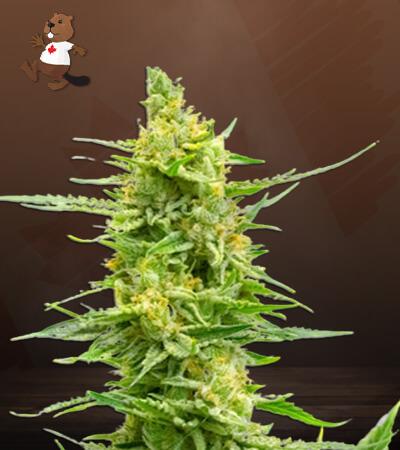 CBD Strawberry Kush Marijuana Seeds