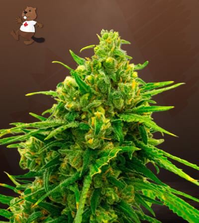 CBD White Widow (1:1) Marijuana Seeds
