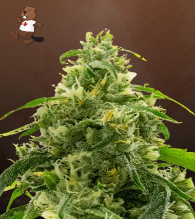 Candyland Peyote Feminized Marijuana Seeds