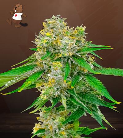 Cream Autoflower Marijuana Seeds