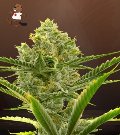 Critical + 2.0 Autoflower Marijuana Seeds