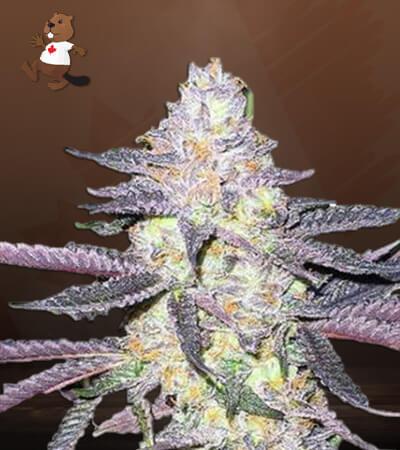 dolato feminized marijuana seeds