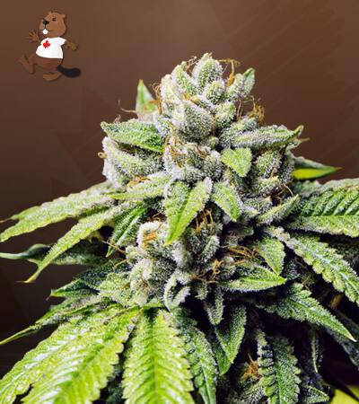 Fire OG Feminized Marijuana Seeds