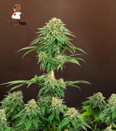 girl scout cookies feminized marijuana seeds