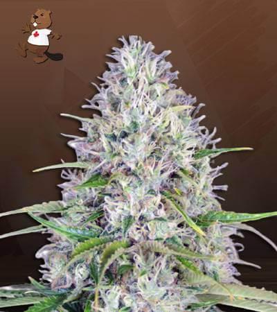 Haze Autoflower Marijuana Seeds 1
