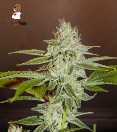 Hellfire OG Feminized Marijuana Seeds
