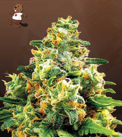 L.A. Confidential Feminized Marijuana Seeds