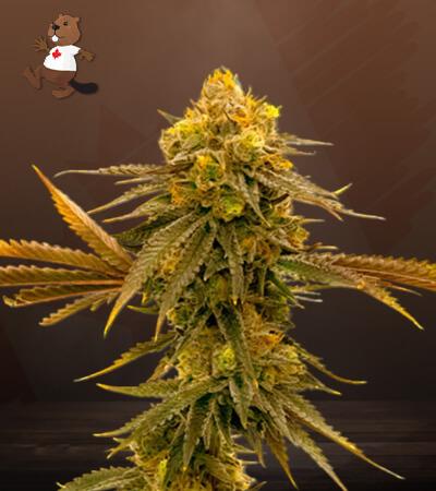 Mandarine Autoflower Marijuana Seeds