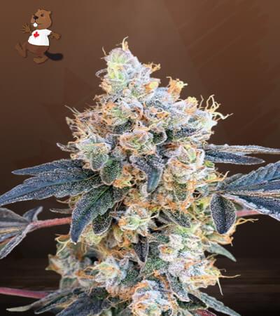 NY Diesel Feminized Marijuana Seeds