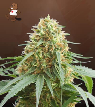 Northern Lights Feminized Marijuana Seeds