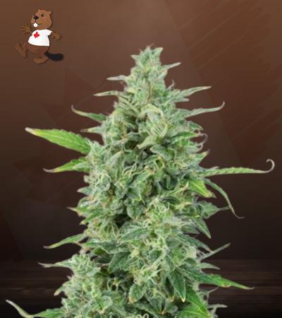 OG Kush Autoflower Marijuana Seeds