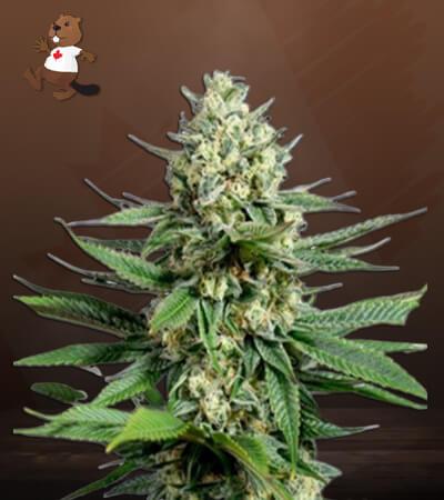 OG Kush Fast Version Marijuana Seeds