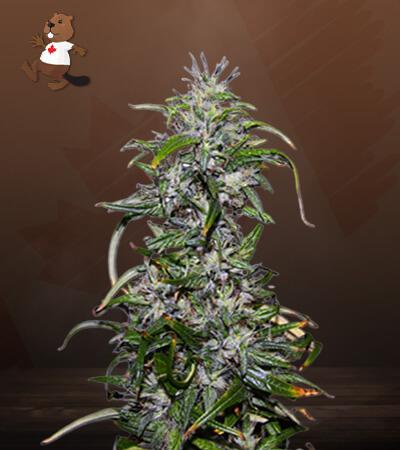Purple Star Killer Feminized Marijuana Seeds