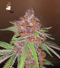 Purple Urkle Feminized Marijuana Seeds