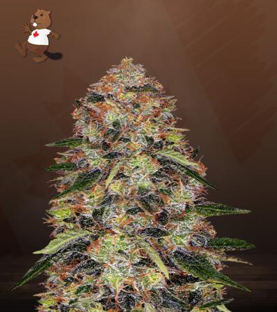 Shiskaberry Feminized Marijuana Seeds