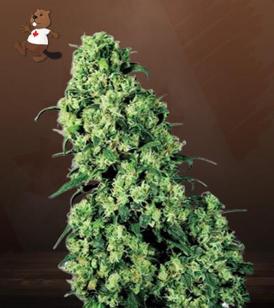 skunk#1 feminized marijuana seeds