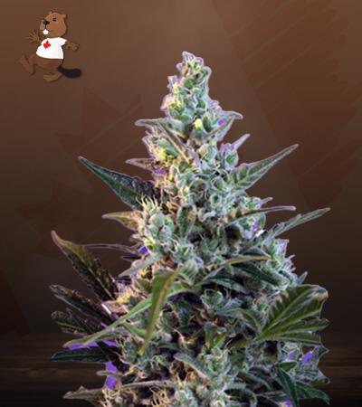 Skunk Fast Version Marijuana Seeds