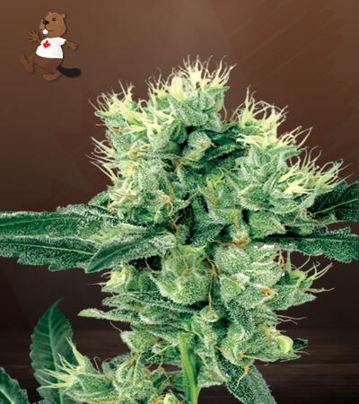 Stardawg Feminized Marijuana Seeds